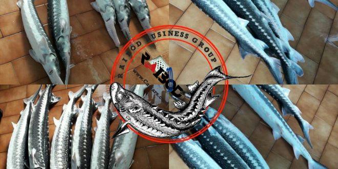 فروش عمده فیل ماهی