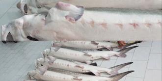 فروش گوشت خاویار فیل ماهی