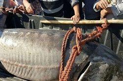 تولید انواع فیل ماهی بلوگا
