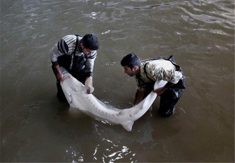 قیمت گوشت فیل ماهی خاویاری دریای خزر