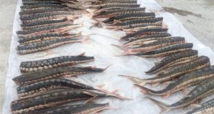 قیمت گوشت فیل ماهی