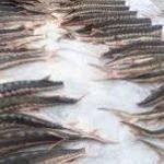 قیمت اوزون برون پرورشی در بازار ماهی