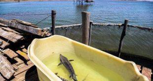 قیمت تولید فیل ماهی مرغوب