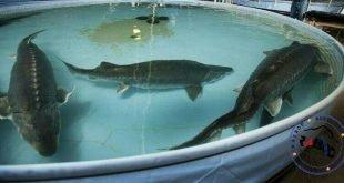 هزینه پرورش فیل ماهی خاویاری