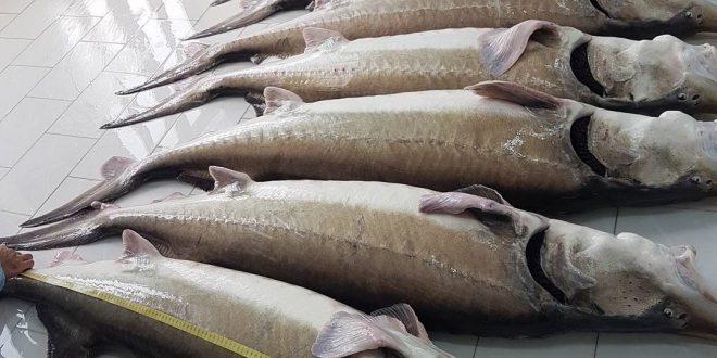بازار فروش فیل ماهی تازه