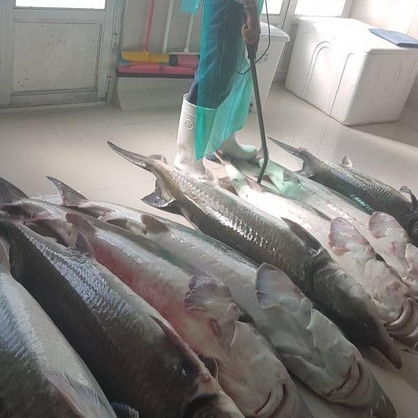 فروش فیل ماهی خاویاری ماده مولد