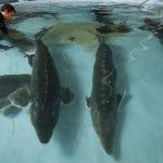 تولید کننده فیل ماهی منجمد