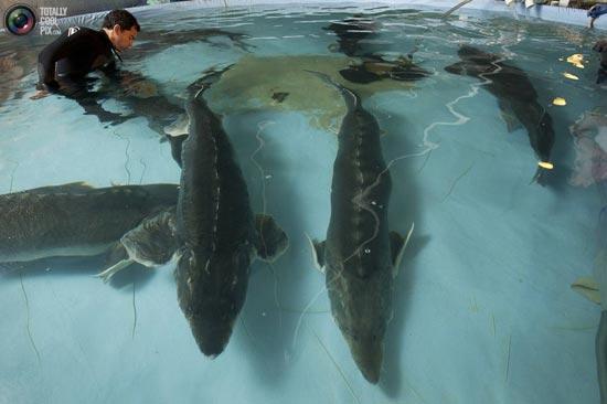 فروش عمده فیل ماهی بندرانزلی