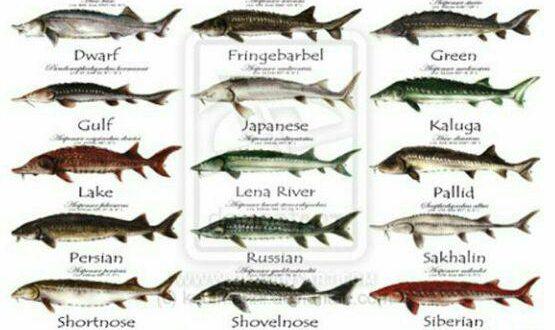 ماهی خاویار یا استروژن