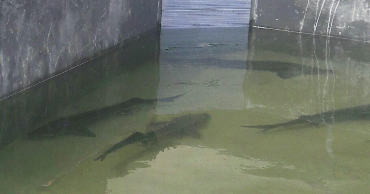 انواه ماهییان خاویاری پرورشی: