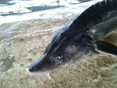 پرورش فیل ماهی در آب شیرین
