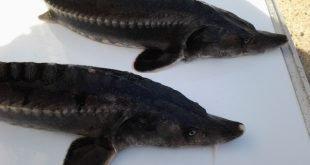تولید و تکثیر فیل ماهی پرورشی