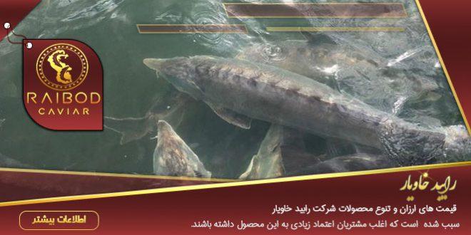 تولید فیل ماهی