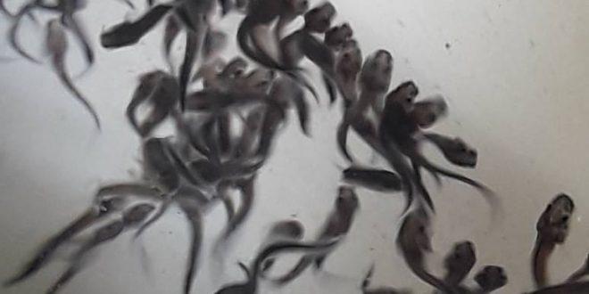 فروش بچه ماهی فیل ماهی اصل