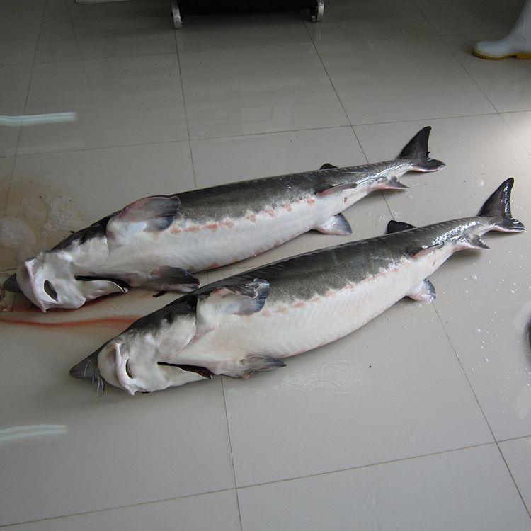 بزرگترین فیل ماهی صید شده در دریای خزر