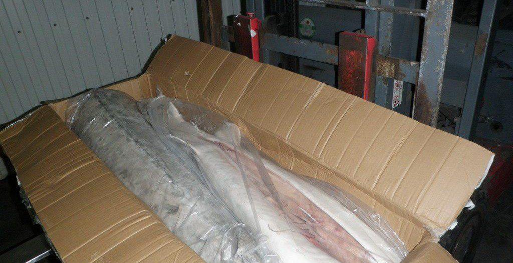 گوشت صادراتی فیل ماهی یا بلوگا