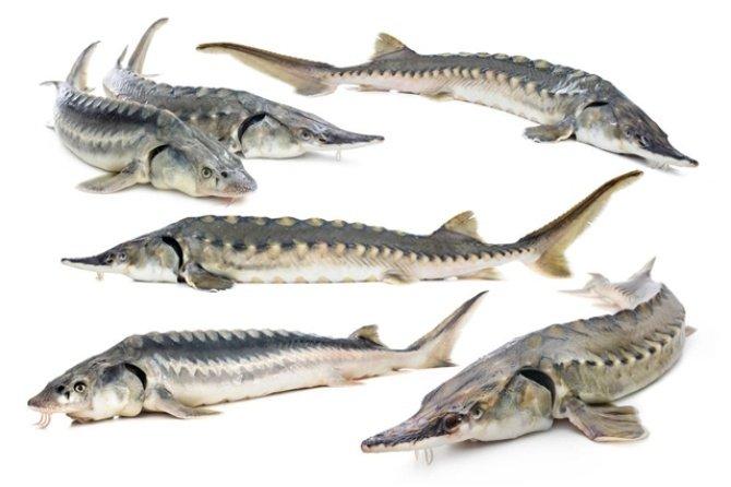 انواع گونه های ماهی های خاویاری دریای خزر