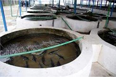 پرورش فیل ماهی دریایی در استخر