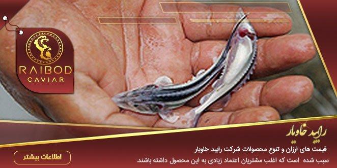 تولید بچه ماهی خاویار