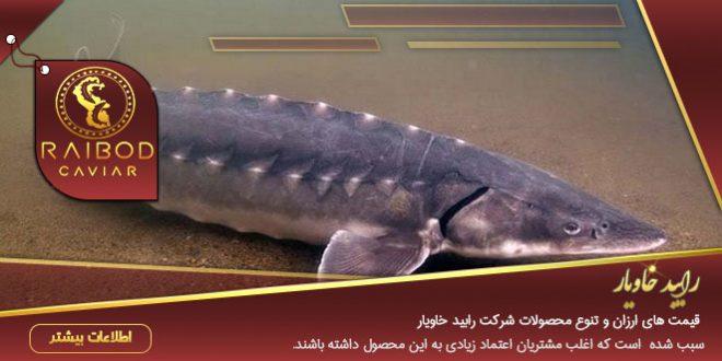ماهی خاویاری گیلان