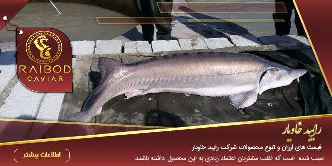ماهی خاویار در دزفول