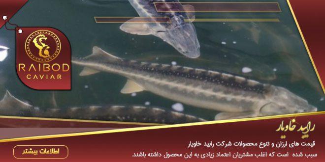 انواع ماهی خاویار دریای خزر