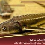 پخش کننده ماهی خاویار در جویبار