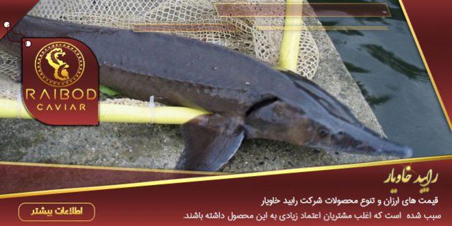 فروش انواع ماهی خاویار
