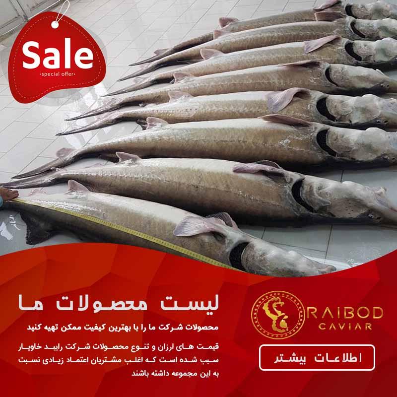 ماهی خاویار فیل ماهی یا ماهی بلوگا